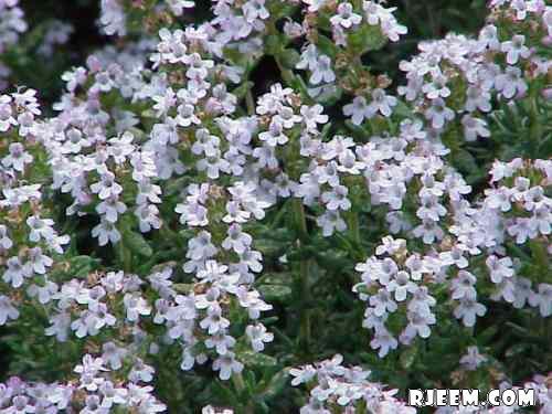 عشبة الزعتر البري رائحة مميزة وفوائد عديدة 13400714251.jpg