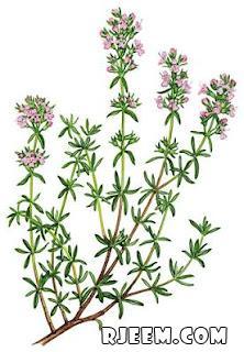 عشبة الزعتر البري رائحة مميزة وفوائد عديدة 13400716201.jpg