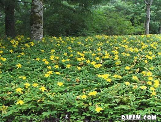 عشبة هيوفاريقون أو سانت جون رائحة عطريّة و مذاق مر 13402079441.jpg