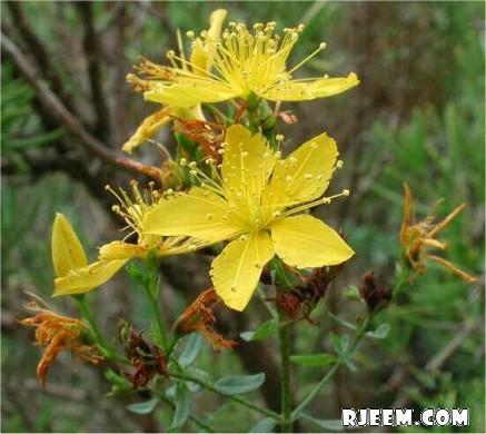 عشبة هيوفاريقون أو سانت جون رائحة عطريّة و مذاق مر 13402079443.jpg