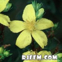 عشبة هيوفاريقون أو سانت جون رائحة عطريّة و مذاق مر 13402079445.jpg