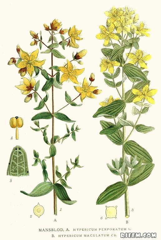 عشبة هيوفاريقون أو سانت جون رائحة عطريّة و مذاق مر 13402081541.jpg