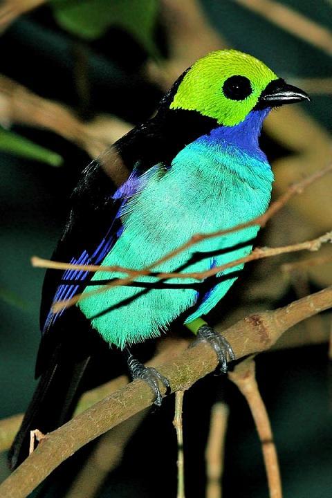بالصور((paradise tanager)) 13644802471.jpg