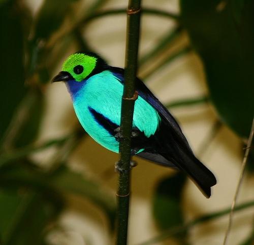 بالصور((paradise tanager)) 13644802472.jpg