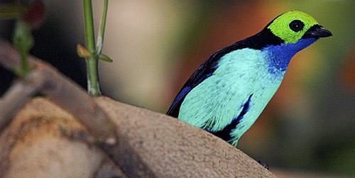 بالصور((paradise tanager)) 13644802473.jpg