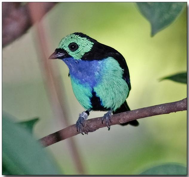 بالصور((paradise tanager)) 13644802484.jpg