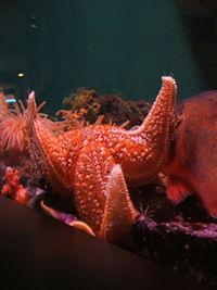 starfish البحر-معلومات 13645729452.jpg