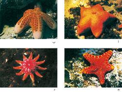 starfish البحر-معلومات 13645729453.jpg