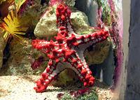 starfish البحر-معلومات 13645729454.jpg