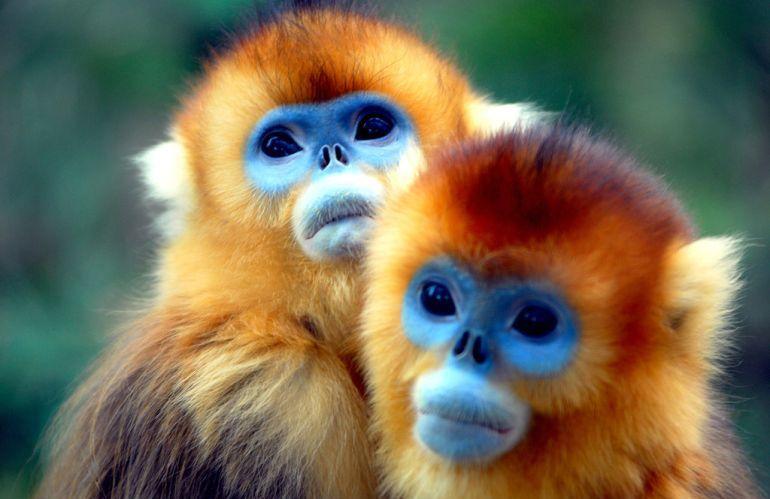 القرود الذهبية بوجوهها الزرقاء