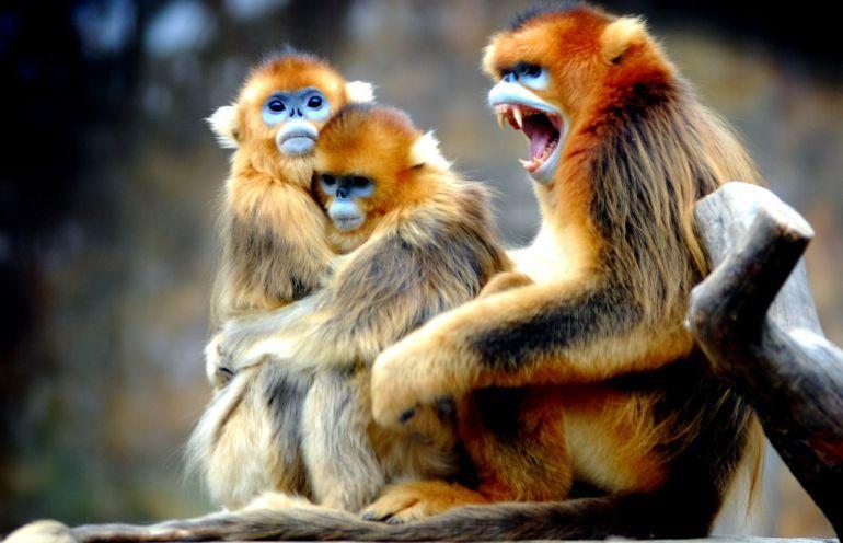 القرود الذهبيه 13656867392.jpg