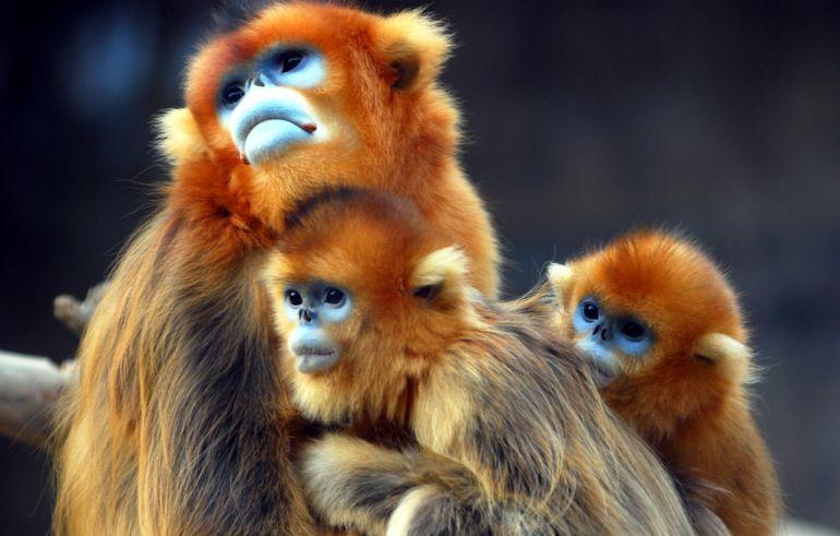 القرود الذهبيه 13656867393.jpg