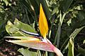 الجنه.نبتة بالصور-تعرفى Strelitzia reginae 13663844584.jpg