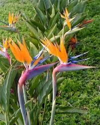 الجنه.نبتة بالصور-تعرفى Strelitzia reginae 13663846833.jpg