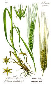 الشعير,نبات الشعير.زراعة 13667364662.jpg