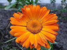 الاذريون-نبذه الاذريون-زراعة الاذريون 13670041721.jpg