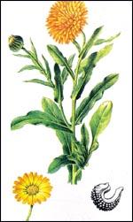 الاذريون-نبذه الاذريون-زراعة الاذريون 13670041723.jpg