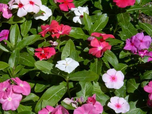 الونكا,نبات الونكا,,زهرة بالصور,معلومات 13680465571.jpg