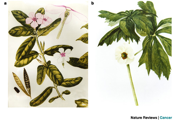 الونكا,نبات الونكا,,زهرة بالصور,معلومات 13680465582.jpg