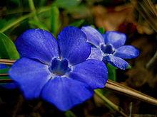 الونكا,نبات الونكا,,زهرة بالصور,معلومات 13680465593.jpg