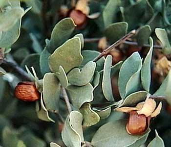 الجوجوبا,معلومات الجوجوبا,زراعة الجوجوبا 13680878661.jpg