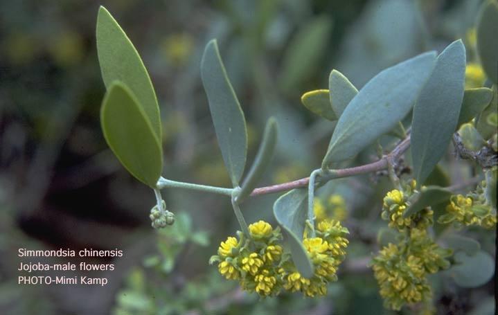 الجوجوبا,معلومات الجوجوبا,زراعة الجوجوبا 13680878672.jpg