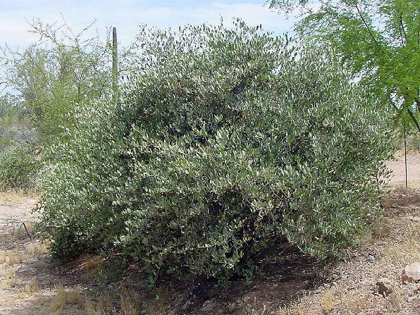 الجوجوبا,معلومات الجوجوبا,زراعة الجوجوبا 13680878683.jpg