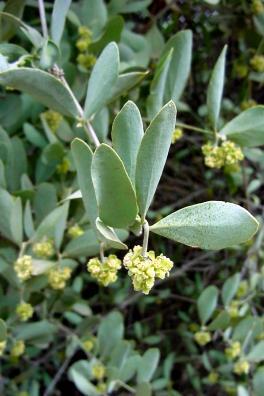 الجوجوبا,معلومات الجوجوبا,زراعة الجوجوبا 13680878714.jpg