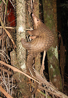 قرفة,حيوان القرفة,,معلومات 13681304321.jpg