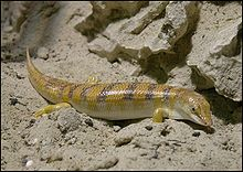 السقنقور,سمكه الرمل,سمكة الصحراء,معلومات السقنقور 13683537422.jpg