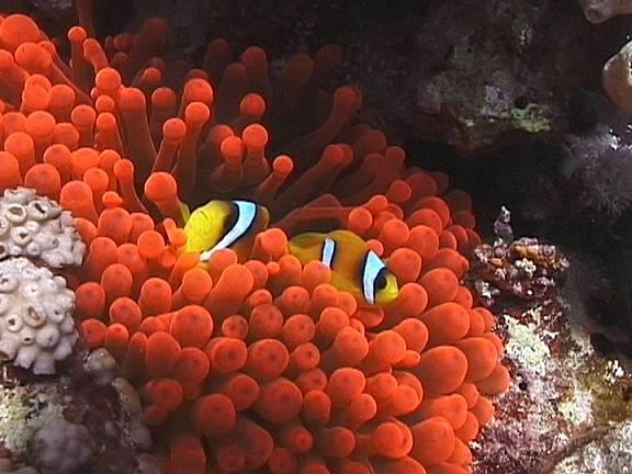 شقائق النعمان البحريه,معلومات عن شقائق البحر بالصور 13686049743.jpg