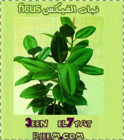 ,معلومات Ficus 13824434721.jpg