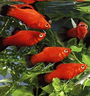 اسماك الزينة بالصور اسماك زينة
