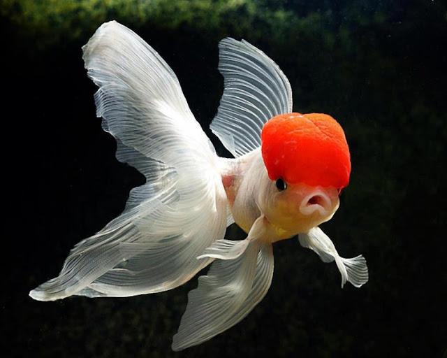 سمكة اورندا السمكة ذات القبعه الحمراء 13957521161.jpg