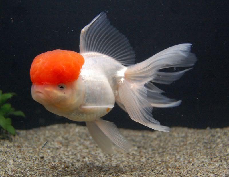 سمكة اورندا السمكة ذات القبعه الحمراء 13957521174.jpg
