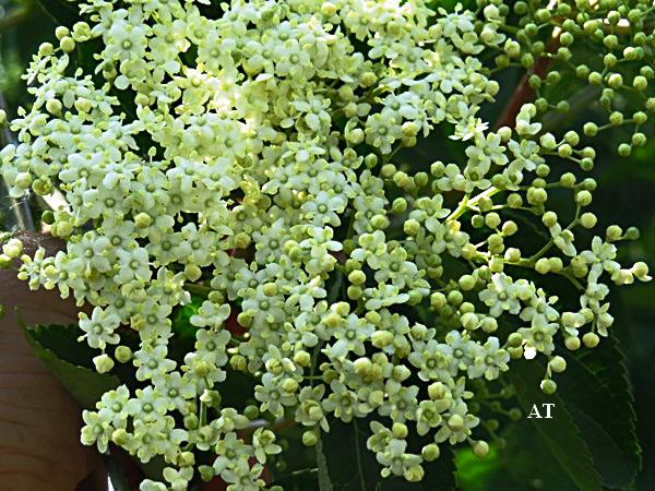 البيلسان Sambucus nigra 13973173321.jpg