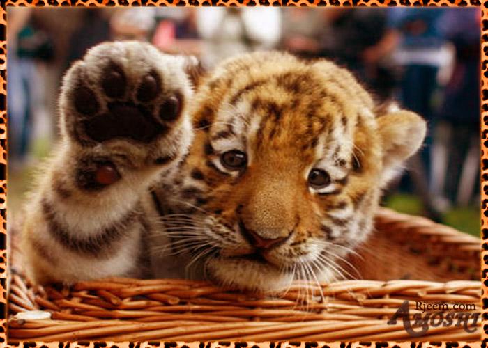 lion & tiger 14130316305.jpg