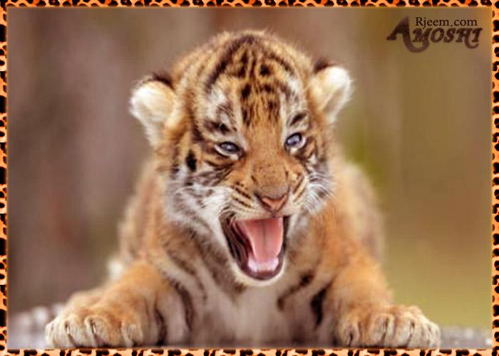 lion & tiger 14130333311.jpg