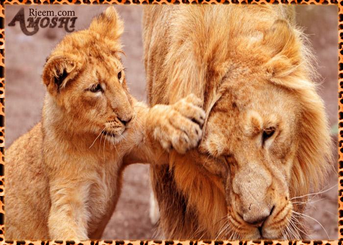 lion & tiger 14130346661.jpg